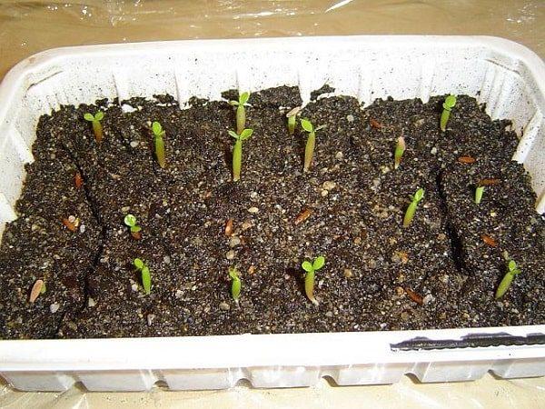 адениум выращивание из семян