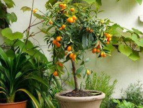 Мушмула: выращивание и уход в домашних условиях