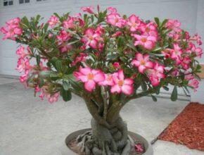 Адениум: выращивание и уход в домашних условиях