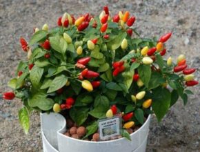 Капсикум: выращивание и уход в домашних условиях